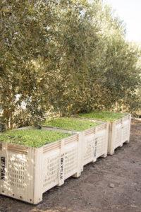 Green & Gold Olives