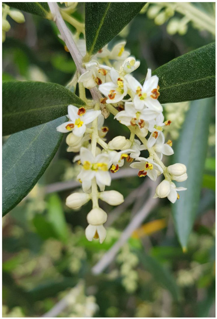 Olive tree blooms
